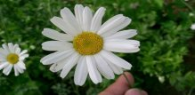 dalmatinski-buhac-cvijet