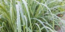limunska-trava-grm