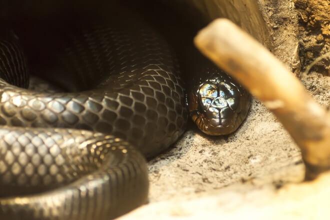 Otrovna-zmija