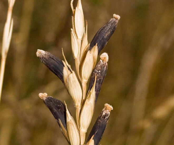 Claviceps-purpurea