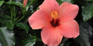 Čaj od hibiskusa – dobrobiti i recepti
