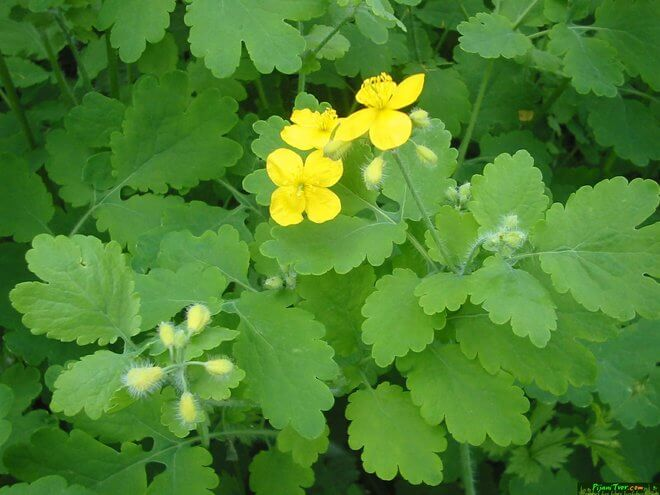 Cvijet rosopasa