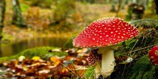 Otrovne gljive – simptomi, liječenje, vrste, slike i opis