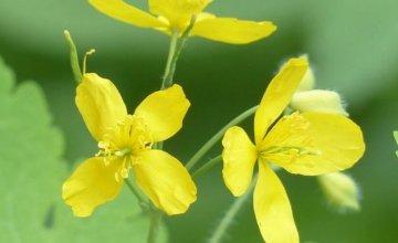 Rosopas biljka kao lijek