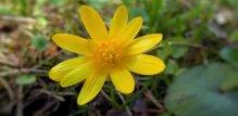 Rosopas cvijet
