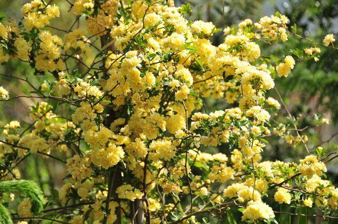 Zalijevanje cvijeća kvascem