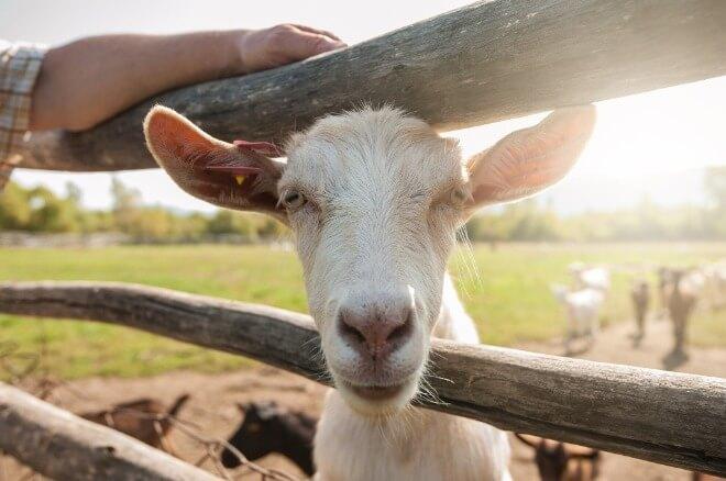 Koza-i-kozje-mlijeko