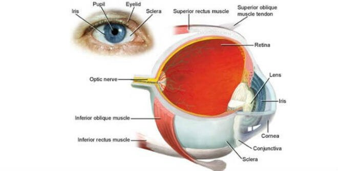 Dijelovi oka