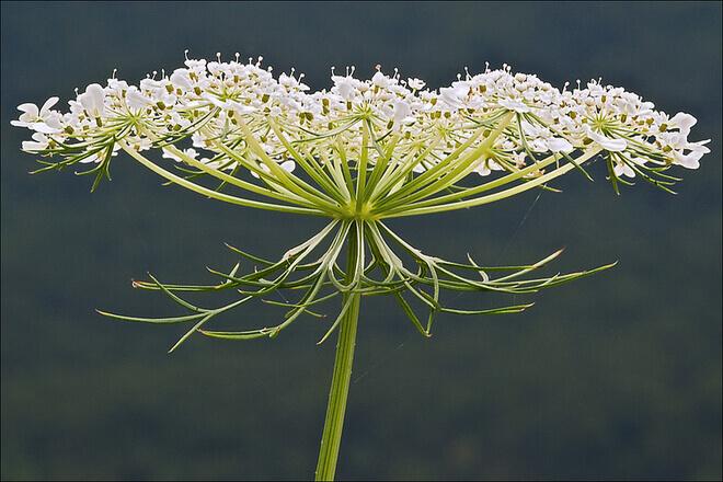 livadne biljke divlja mrkva