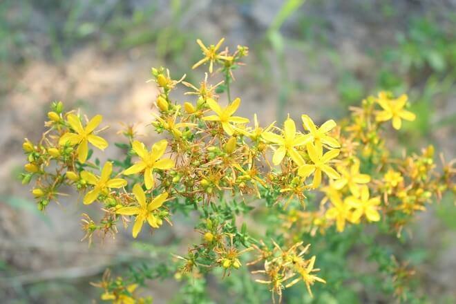 livadne biljke gospina trava
