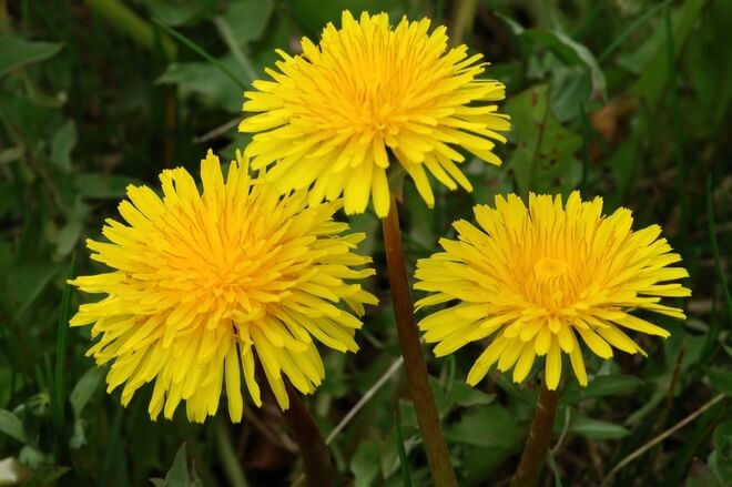 livadne biljke maslačak