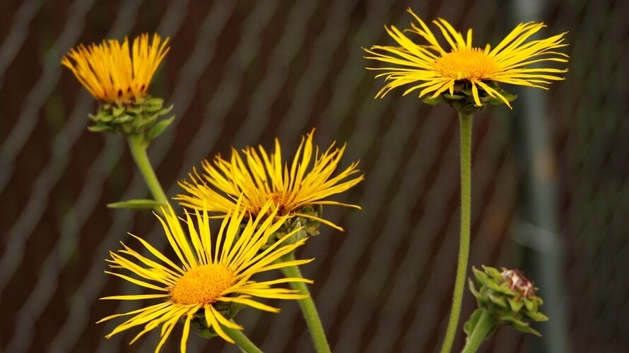 oman ljekovita biljka