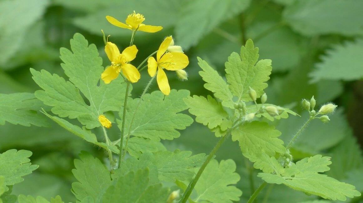 Rosopas - biljka