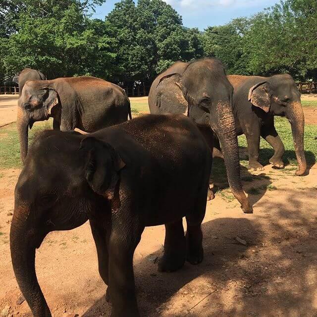 Pinawalla slonovi