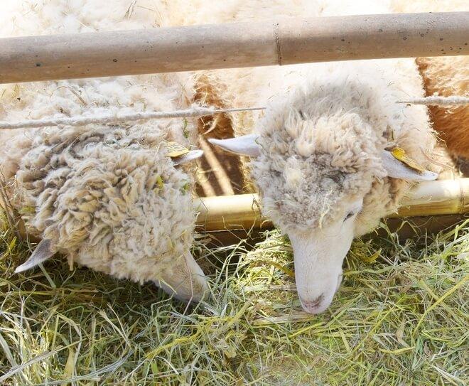 bruceloza ovce
