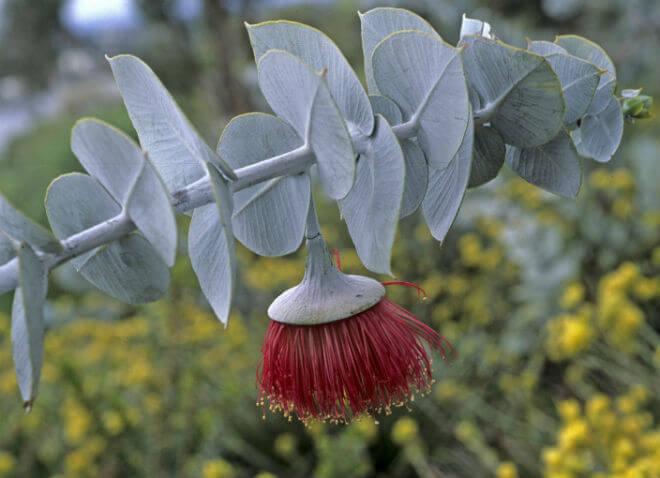 eukaliptus cvijet