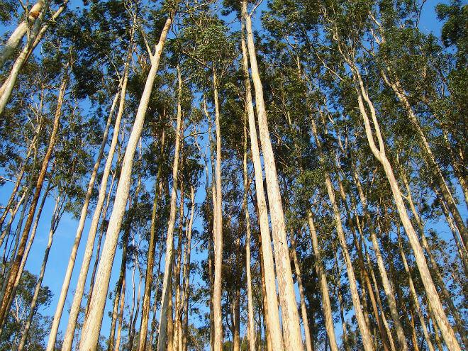 eukaliptus drvo