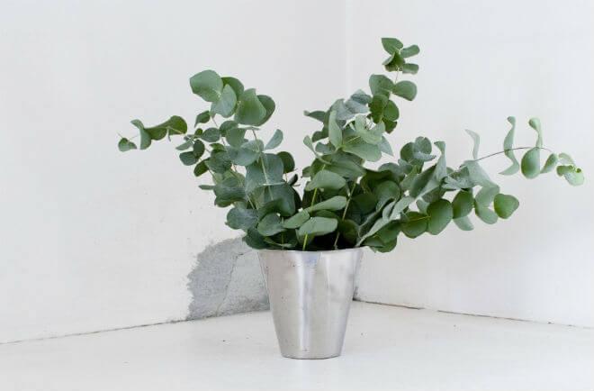 eukaliptus sadnica