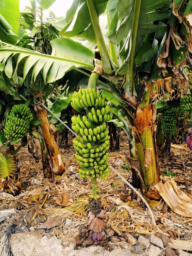 Drvo banane