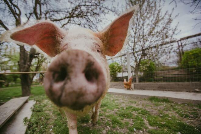 svinja ljilja