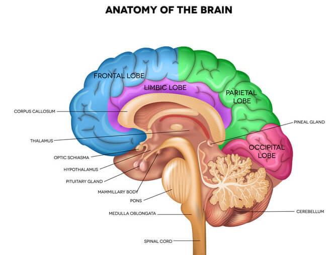 Anatomija mozga