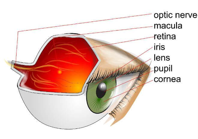 građa oka