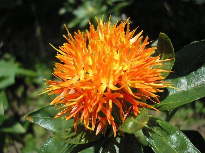 Šafranika cvijet