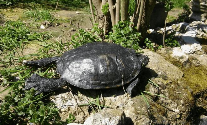 Super Ljilja kolumna 5 kornjača
