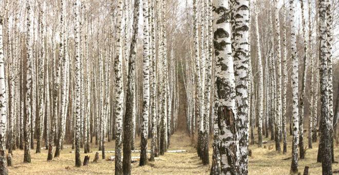 breza šećer