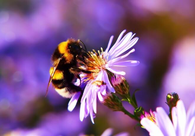 Perga pčela