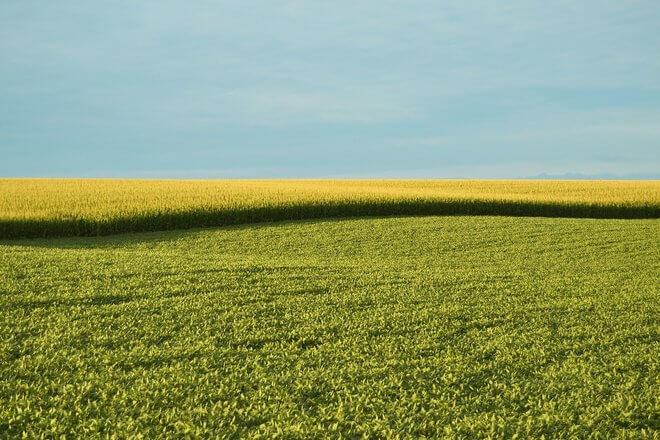 polje pšenice