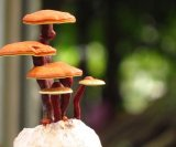 reishi gljive