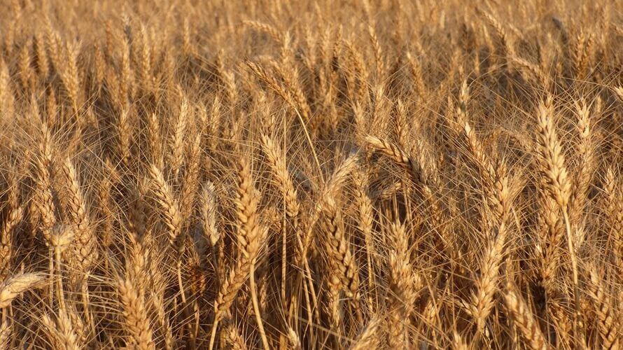 Durum pšenica