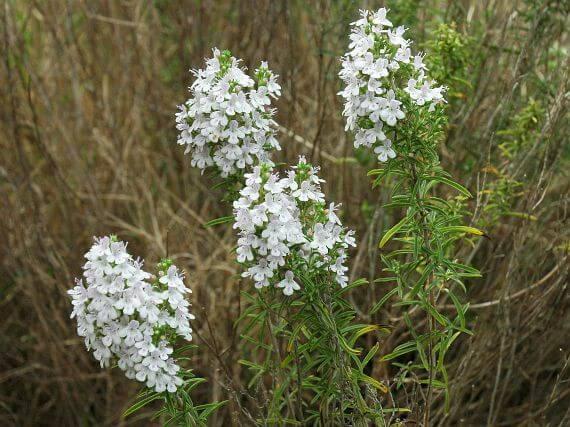 saturmontana biljka vrisak