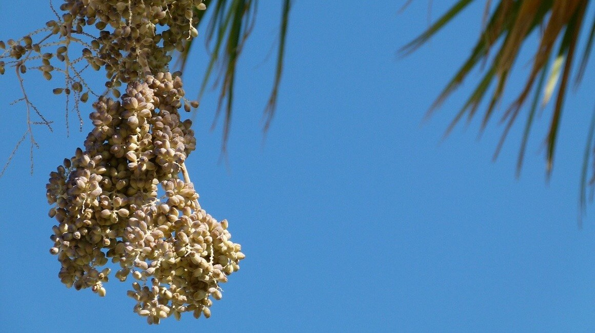 Palma datulja