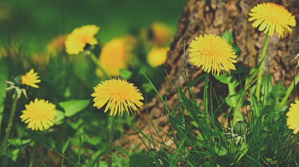 Maslačak - jestivo cvijeće